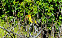 western tanager 1