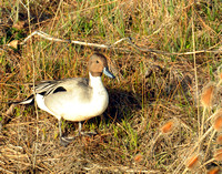 Norther Pintail