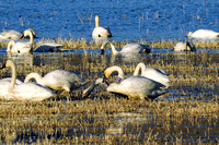 Whistling Swans