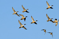 Northern Pintails & American Wigeon