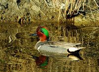 Greenwing Teal