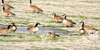 Cackler/Canada Geese