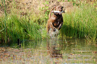 Sage/Chesapeake Bay Retriever