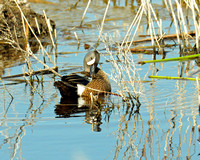 Bluewing Teal